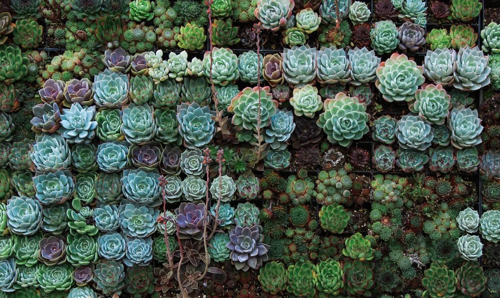 Succulent plants of shades of green and purple