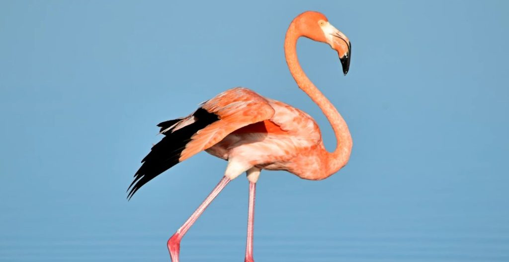 Coral pink flamingo in water