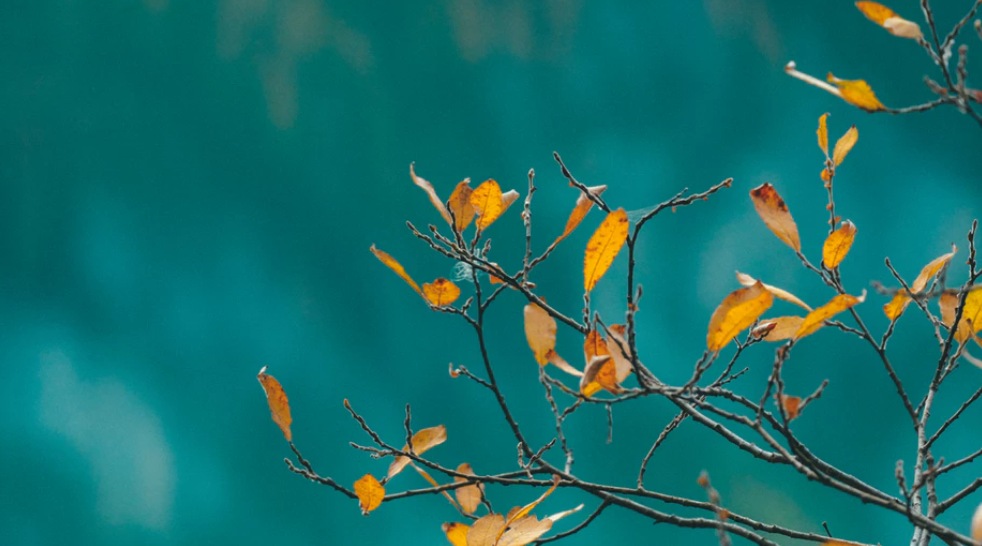 Yellow Leaves on teal background
