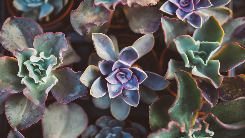 Succulents with green, red, and purple hues